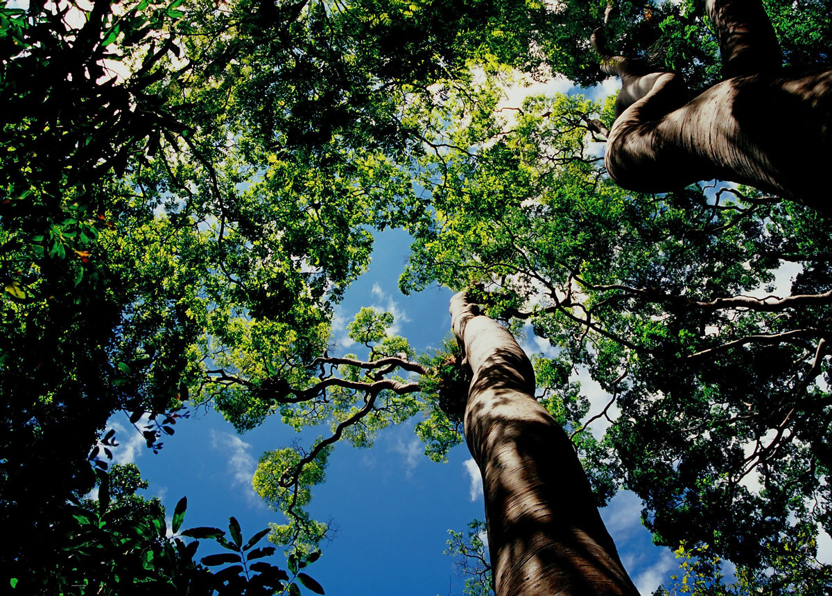forest-canopy